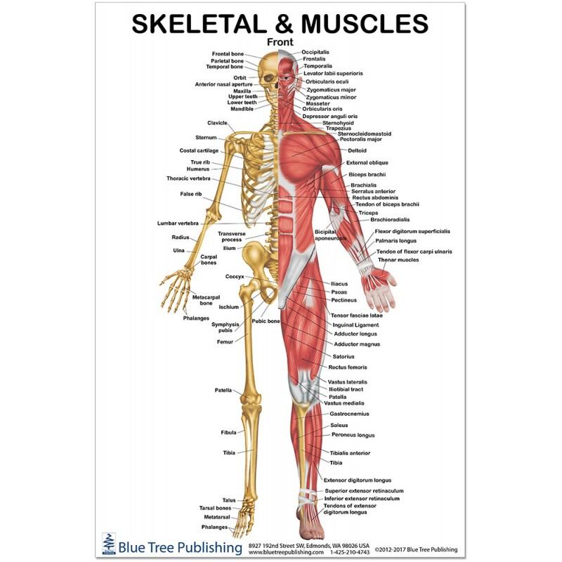 skeletal-and-muscles-front-regular-poster.jpg