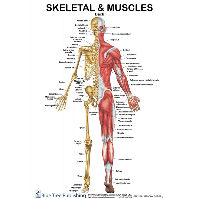 skeletal-and-muscles-anatomical-chart.jpg